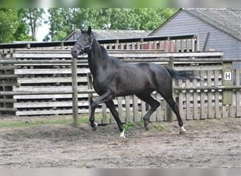 KWPN, Mare, 5 years, 17.1 hh, Black