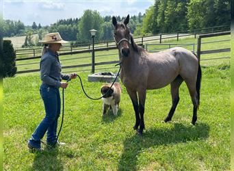Quarter Horse, Mare, 3 years, 14.2 hh, Roan-Bay