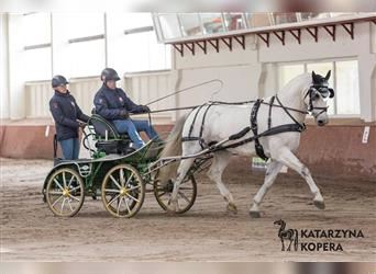 Silesian, Mare, 9 years, 16.1 hh