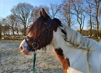 Gypsy Horse, Mare, 5 years