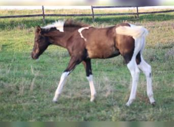 Paint Horse, Hengst, Fohlen (05/2021), Tobiano-alle-Farben