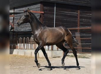 Andalusian, Mare, 1 year, 15.2 hh, Gray
