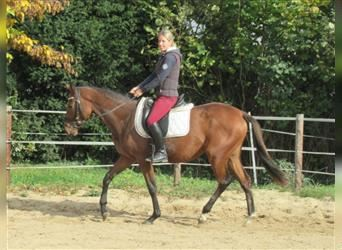 More ponies/small horses, Mare, 3 years, 14.3 hh, Brown