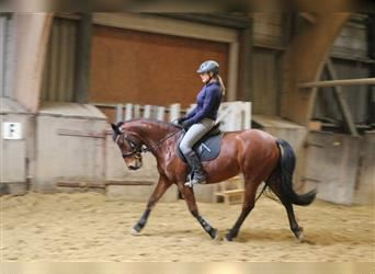 New Forest Pony, Mare, 15 years, 14 hh, Brown