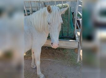 Classic Pony Mix, Mare, 11 years, 11.3 hh, White