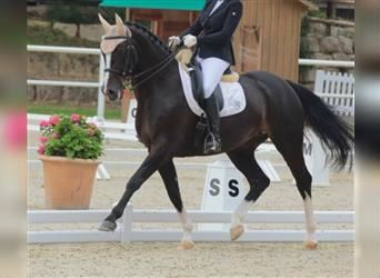 KWPN, Mare, 10 years, 16 hh, Smoky-Black