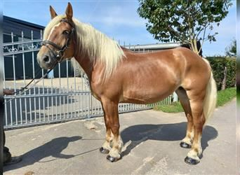 Polish Coldblood, Mare, 5 years, 16 hh, Chestnut-Red