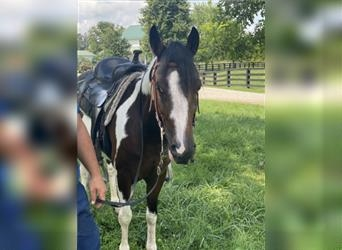 Spotted Saddle Horse, Gelding, 10 years, 14 hh, Pinto