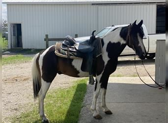 Spotted Saddle Horse, Hongre, 10 Ans, 142 cm, Pinto