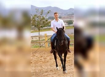 Andalusian, Gelding, 8 years, 16 hh, Smoky-Black