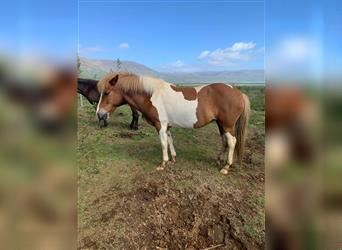 Icelandic Horse, Mare, 10 years, 13.2 hh, Tobiano-all-colors