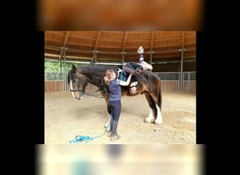 Shire Horse, Gelding, 4 years, 18 hh, Brown