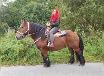 Ardennes, Mare, 6 years, 15.1 hh, Brown
