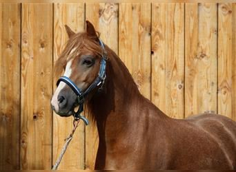 Welsh A (Mountain Pony), Gelding, 4 years, 11.3 hh, Chestnut-Red