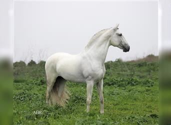 Andalusian, Stallion, 13 years, 15.3 hh, Gray
