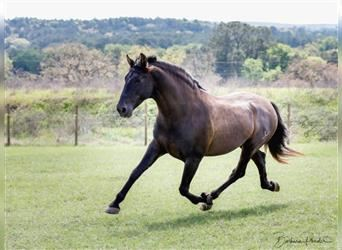 Andalusian, Stallion, 11 years, 16 hh, Black