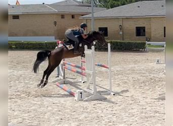 Anglo-Arab, Mare, 4 years, 15.1 hh, Bay-Dark
