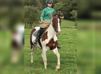 Curly horse, Gelding, 4 years, 14.2 hh, Bay