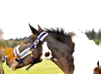 Lewitzer, Mare, 2 years, 13.2 hh, Pinto