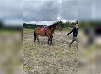 Furioso, Mare, 4 years, 16 hh, Brown