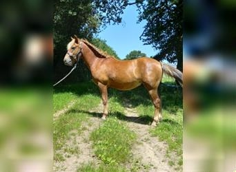 New Forest Pony, Hengst, 2 Jahre, 128 cm, Fuchs