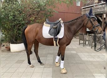 German Riding Horse, Mare, 3 years, 15.2 hh
