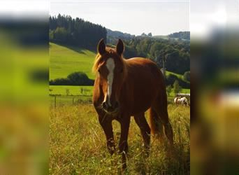 American Indian Horse, Mare, 2 years, 14.2 hh, Chestnut-Red
