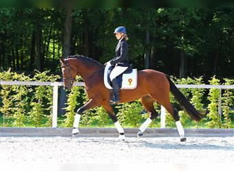 German Sport Horse, Mare, 5 years, 16 hh, Brown