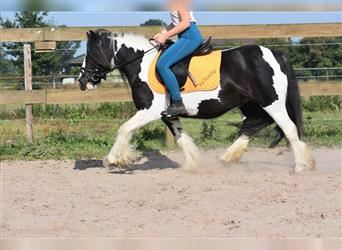 Gypsy Horse, Mare, 5 years, 12.1 hh, Pinto