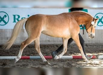 Haflinger, Mare, 3 years, 14.2 hh, Chestnut-Red