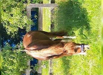 Welsh B, Mare, 6 years, 12.3 hh, Chestnut-Red