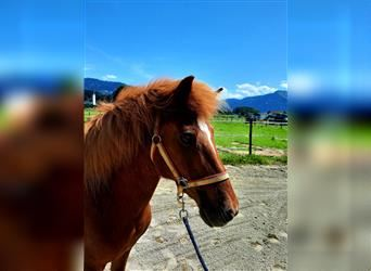 Icelandic Horse, Mare, 26 years, 13.1 hh, Chestnut-Red