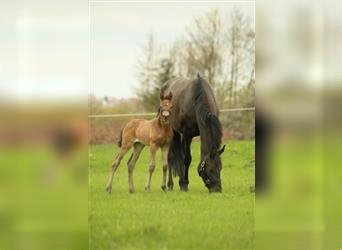 Oldenburg, Mare, Foal (04/2021), 16.1 hh, Brown