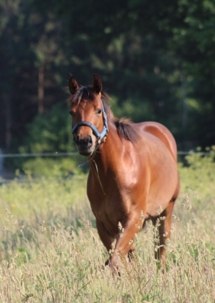 Quarter Horse Mare 2 years 15,35 hh Brown