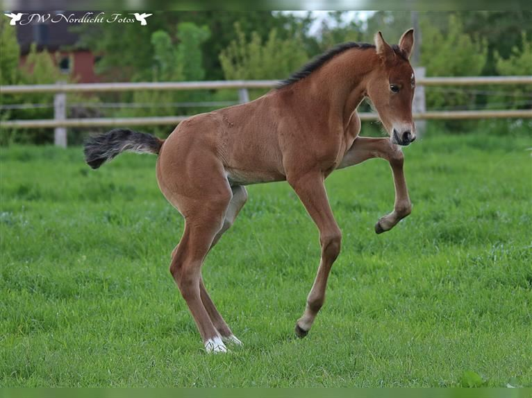 Holstein Mare Foal (05/2021) Brown