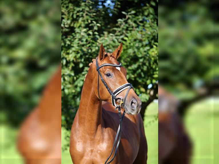 German Sport Horse Mare 3 years 16 hh Chestnut-Red