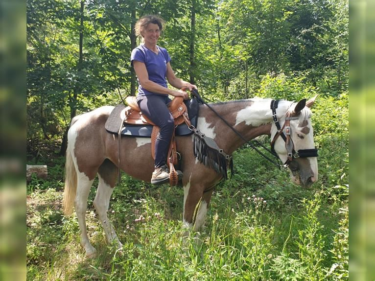 Pintos Mix Mare 5 years 15,1 hh Pinto