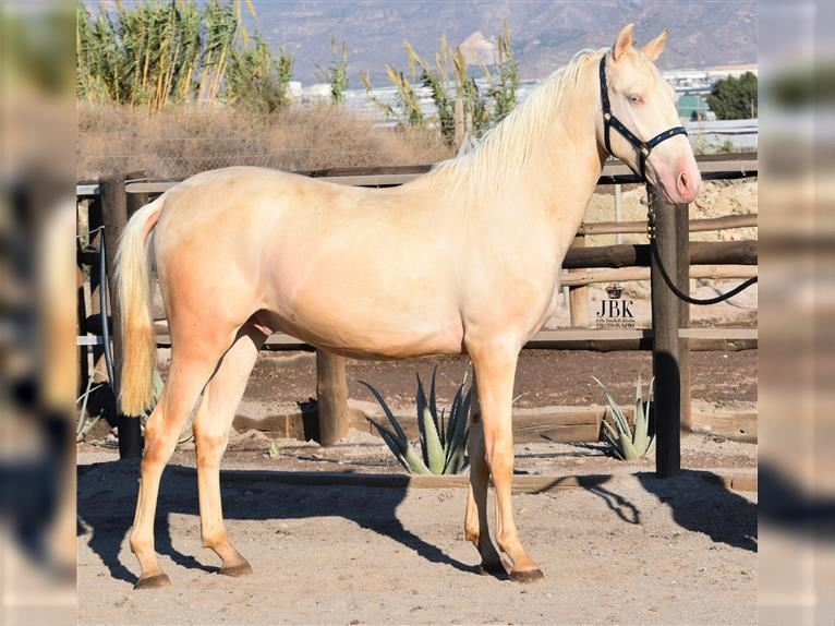 Andalusier Mix Hengst 2 Jahre 158 cm Perlino
