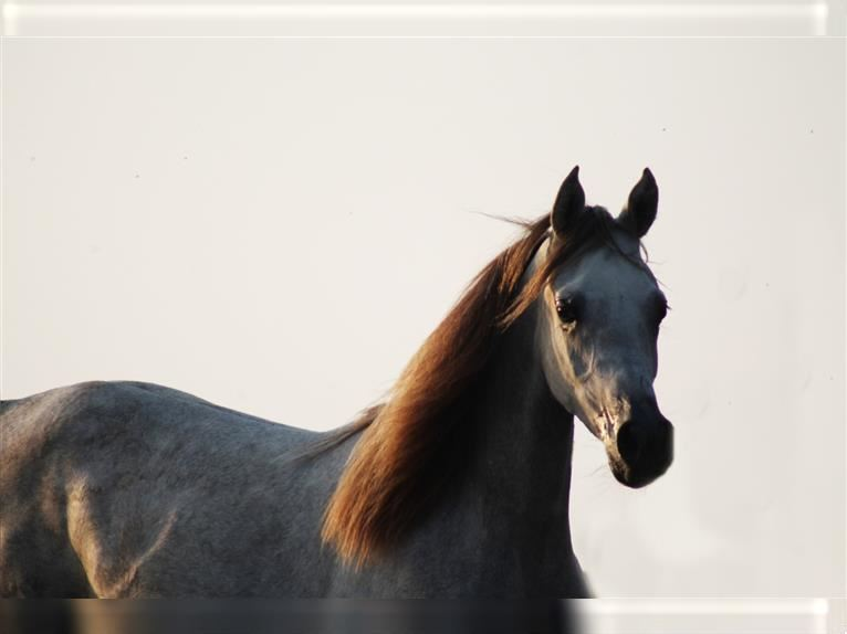 Arabian horses Mare 5 years 15,1 hh Chestnut-Red
