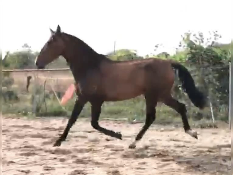 Andalusian Gelding 3 years 16 hh Brown