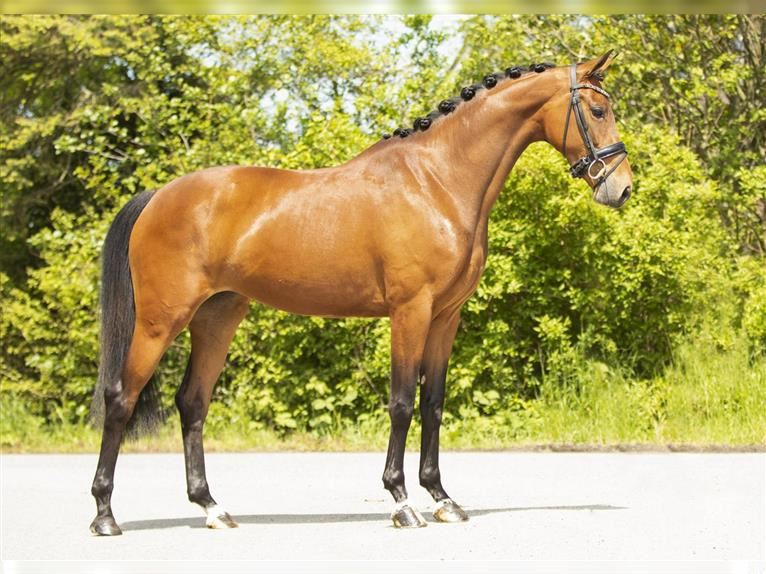 KWPN Mare 3 years 16,1 hh Brown