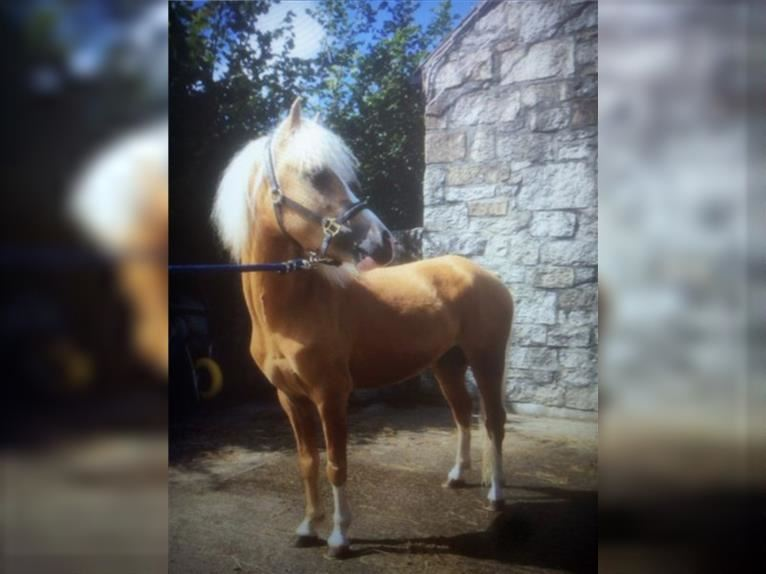 Welsh A (Mountain Pony) Gelding 5 years 12 hh Palomino
