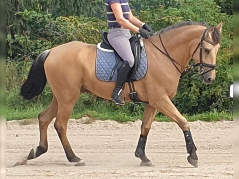 Andalusier Mix Wallach 9 Jahre 162 cm Falbe