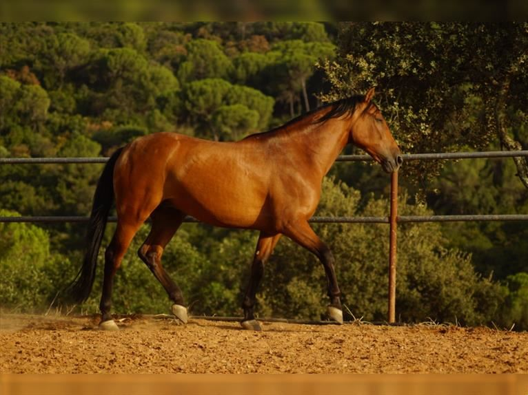 Andalusian Gelding 5 years 16 hh Brown