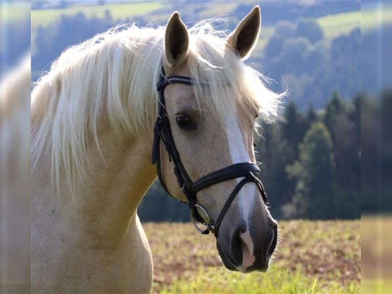 Other Breeds Mare 12 years 15 hh Palomino