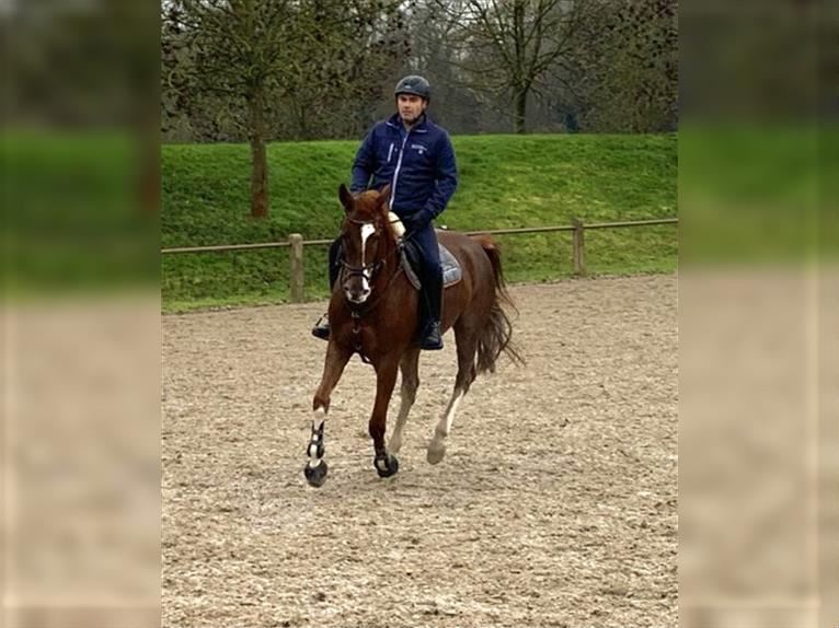 Hanoverian Mare 7 years 16,2 hh Chestnut-Red