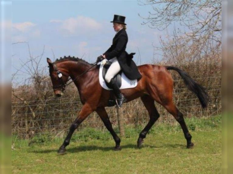 irish sport horse mare 2years 15 26 hh chestnut red dressagehorses showjumpers eventinghorses moyvore 80km to dublin 9