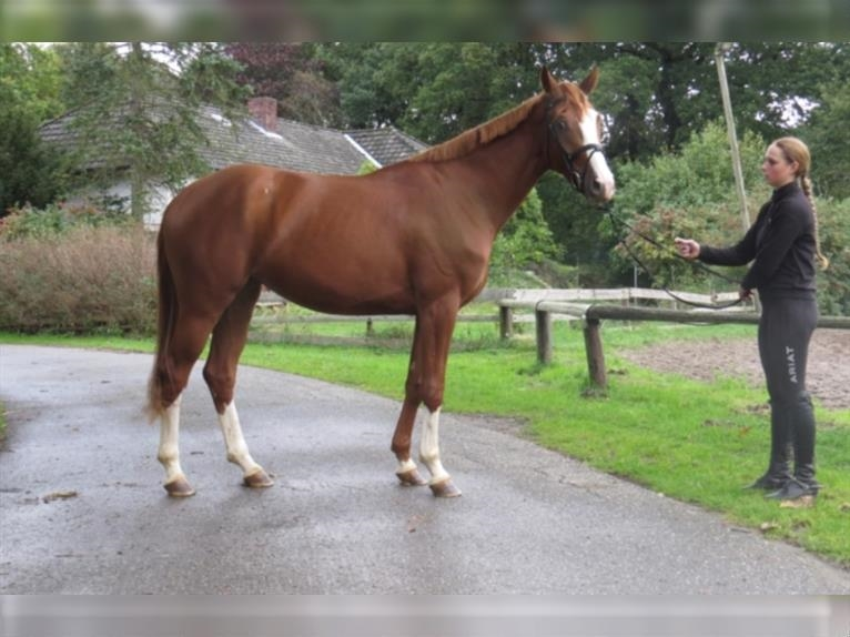 Hanoverian Mare 3 years 16,1 hh Chestnut-Red