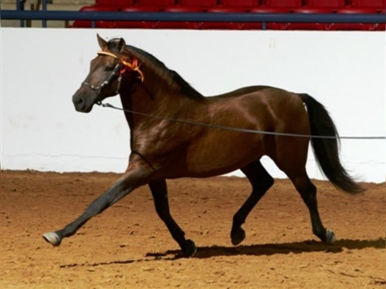 Andalusier Hengst Rotbrauner