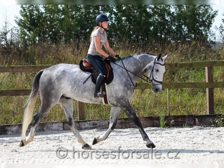 Other Warmbloods Gelding 6 years 17 hh Gray